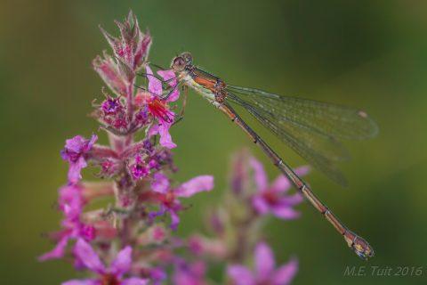 Onbekende libellesoort