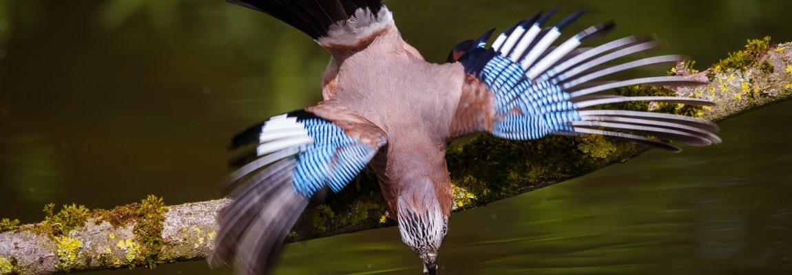 Weer vogelen in de Vogelhut Alblasserwaard