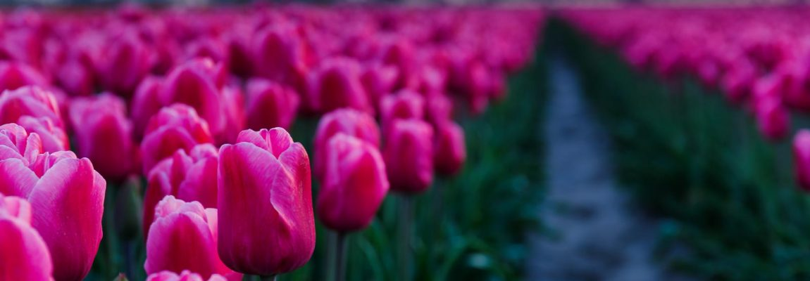 Terugkeer naar de tulpen op Goeree-Overflakkee